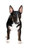 Black bull terrier dog  Stock Image