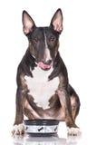 Black bull terrier dog Stock Photo