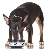 Black bull terrier dog eating Royalty Free Stock Image