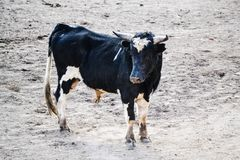 Black bull with white spots in a bullfight royalty free stock photography