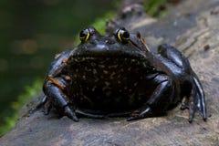 Black bullfrog Stock Photo