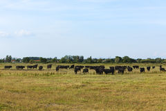 Black bulls of the Camargue Stock Photography