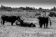 Black bulls on a ranch in Camargue Stock Image