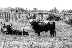 Black bulls on a ranch in Camargue Royalty Free Stock Photos