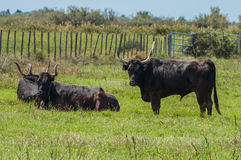 Black bulls on a ranch in Camargue Royalty Free Stock Images