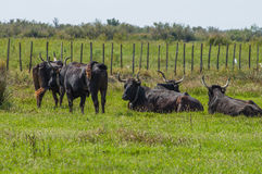 Black bulls on a ranch in Camargue Stock Photography