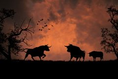 Black bulls in the sunset Stock Photos