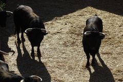 Black bulls in a bullring from Vinaros, Spain. Black bulls view with straw on the floor in a bullring befora a corrida, Vinaros, Spain royalty free stock photography