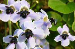 Black bumble bees with soft violet flowers Royalty Free Stock Images