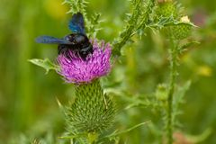 Black bumblebee. Black bumble bee (Bombus) on a bull thistle flower Royalty Free Stock Photography