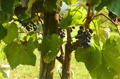 Bunch of grapes in a vineyard in Italy royalty free stock images