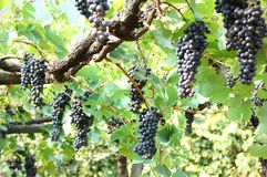 Black bunches of grape Stock Photos