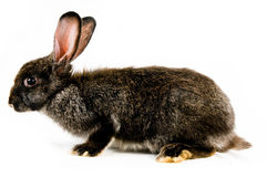 Black bunny Stock Images