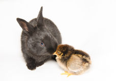 Black bunny with baby chick Stock Photo