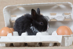 Black bunny in the eggbox. Black bunny in the white eggbox and some eggs Stock Images