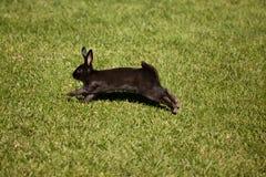 Black bunny rabbit. Hopping across a grassy field Royalty Free Stock Photos