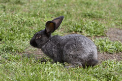 Black bunny on a walk. Black bunny on a walk in the profile Royalty Free Stock Photo