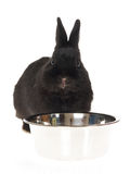 Black bunny with water bowl Royalty Free Stock Photography