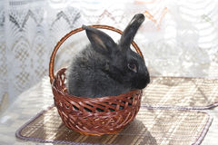 Black bunny in a wicker basket. Black rabbit sitting in a wicker basket Stock Photography