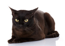 Black Burmese cat with yellow eyes lying on white background Royalty Free Stock Images