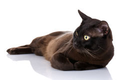 Black Burmese cat with yellow eyes lying on white background Royalty Free Stock Image