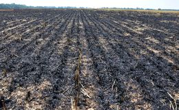 Black burned sturgeon and remnants of grain harvesting. On the grain field, black burned stubble and remnants after harvest Stock Photos