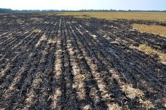 Black burned sturgeon and remnants of grain harvesting. On the grain field, black burned stubble and remnants after harvest Stock Images