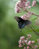 Black Butterfly. A black Swallow Tail butterfly feeding on wild Milk Weed Blosoms royalty free stock images