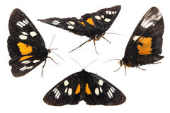 Black butterfly. Alive black with yellow butterfly isolated on white royalty free stock image