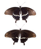 Black butterfly. Beautiful black butterfly on white background stock images