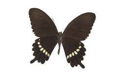 The Black Butterfly 2. Black butterfly isolated on a white background Royalty Free Stock Images