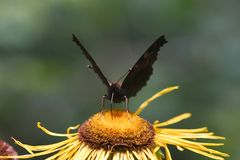 Black butterfly Royalty Free Stock Photos