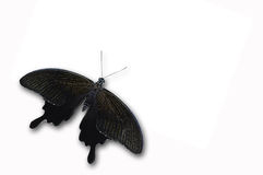 Black butterfly. Isolated on white from Thailand Stock Image