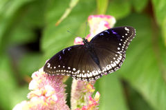 Black butterfly Stock Photography