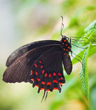 Black butterfly. With red dots on green leaf royalty free stock photo