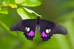 Black butterfly. Black tropical butterfly sitting on the leaf Royalty Free Stock Images