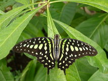 Black butterfly. A beautiful black butterfly in botanic garden stock images