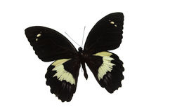 The Black Butterfly 4. Black butterfly isolated on a white background royalty free stock images