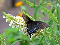 Black butterfly. Perched on white budhlia Royalty Free Stock Image