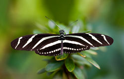 Black butterfly Stock Photos
