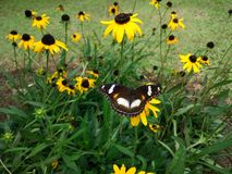 Butterfly between of yellow flowers stock images