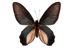 Black butterfly Atrophaneura dixoni Stock Image