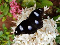 Black butterfly. A big black butterfly on white flowers in a garden Stock Photo