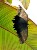 Black butterfly. Black with brown butterfly sitting on a leaf in the garden royalty free stock photos