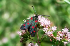 Black butterfly. Feeding on flowers in garden stock photography