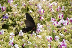 Black butterfly. On pink and white flowers royalty free stock image