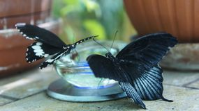 Two black butterflies drink nectar. Black butterfly with blue drinks nectar from jar in nursery. Tropical butterfly papilio rumanzovia Royalty Free Stock Photo