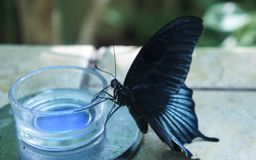 Black butterfly with blue stripes drinks nectar. From jar in nursery. Tropical butterfly papilio rumanzovia and common mormon Stock Image