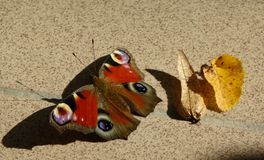 A black butterfly with brown and white motive that standing in floor. royalty free stock photo