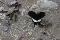 Black butterfly on the clay nearby waterfall at National Park stock photography